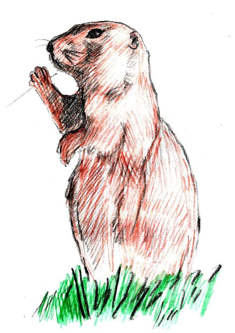 how to a prairie prairie dogs drawing www imgkid the image kid has it