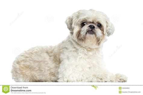 shih tzu lying shih tzu lying isolated royalty free stock photo image 32494955