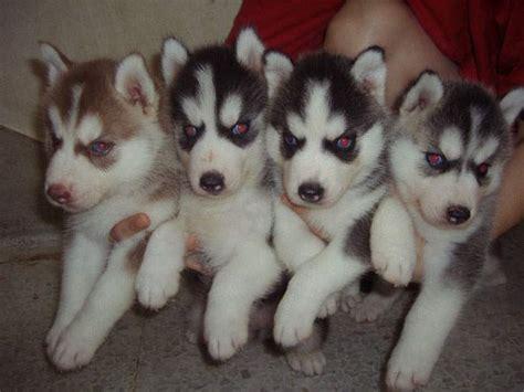 husky puppies for adoption in siberian husky puppies for adoption europe pictures of litle pups