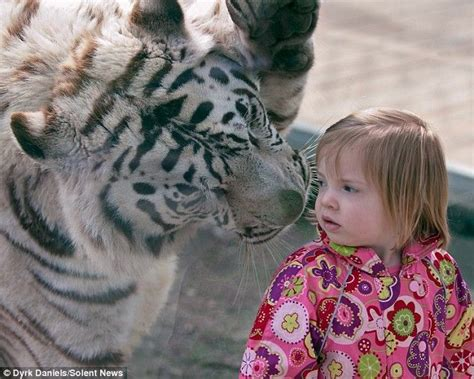 facts about the new year tiger best 20 bengal tiger facts ideas on bengal