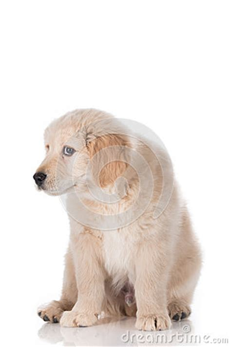 guilty golden retriever guilty golden retriever puppy isolated on white background stock photo image 55925774