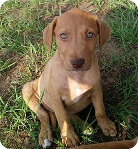 vizsla puppies florida adopted puppy 13 0602a williston fl vizsla boxer mix