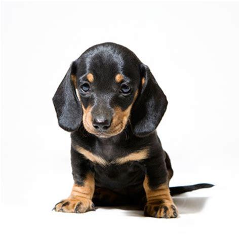 dachshund puppies for adoption dachshund puppies for adoption bazar