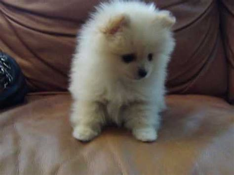 tiny micro teacup pomeranian sale micro teacup pomeranian for sale quot gucci quot