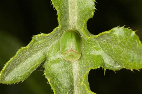 Bando Leaf Bc 05 beetles are taking on canada thistle by huayan chen katherine nesheim pinning block