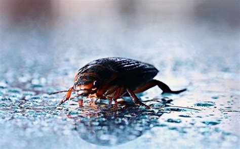 Can Bed Bugs Survive In Water by Can Bed Bugs Live In Water 28 Images Bed Bug Singapore