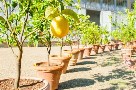 B Ume G Nstig Kaufen 581 by Zitronenbaum Kaufen Echter Zitronenbaum Sorrento