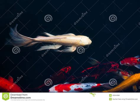 Swimming Fish L by Koi Carps Fish Japanese Swimming Cyprinus Carpio