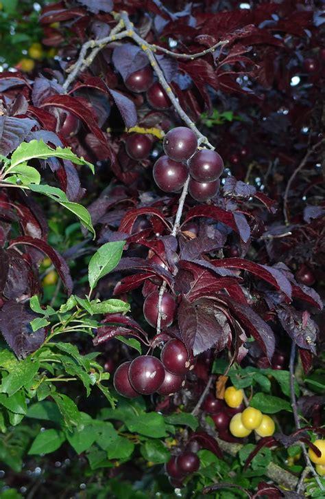 wild harvests cherry plum an early plum gone wild