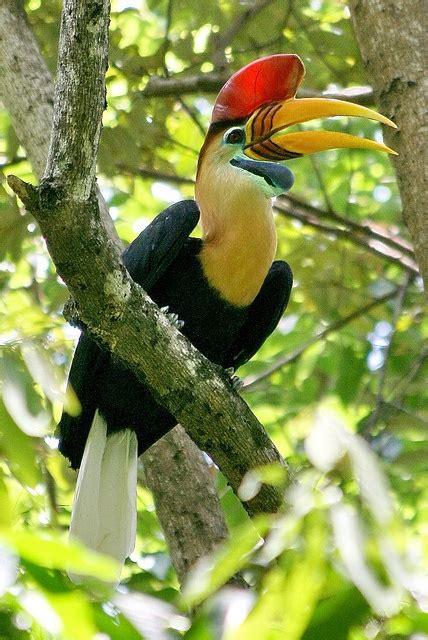 knobbed hornbill birds to bird