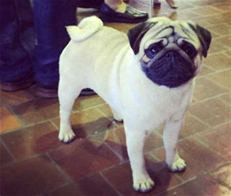 westminster pug live coverage from the westminster show 2015 in new york city