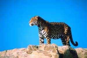 How Do Jaguars Adapt To Their Environment What Do Sonoran Desert Jaguars Eat Animals Me
