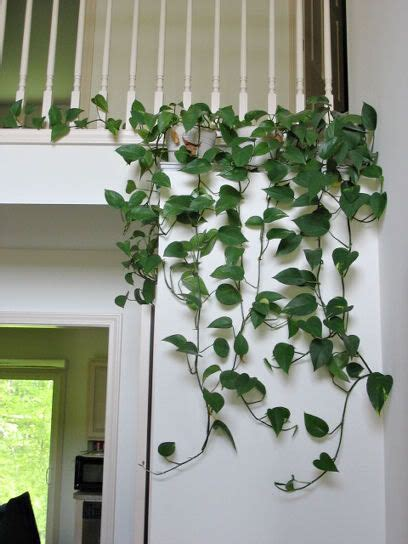 how to arrange indoor plants a lovely way to arrange golden pothos in the home
