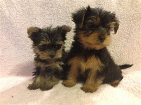affordable yorkies for sale silver yorkies for sale in mo image breeds picture