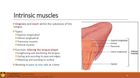 anatomy of the tongue slideshare tongue muscles images reverse search