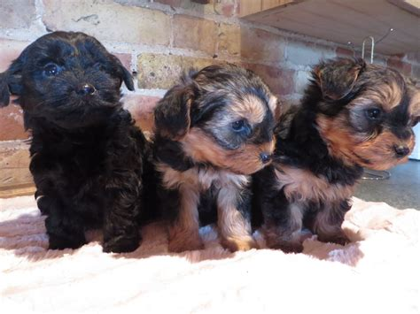 black yorkie poo puppies for sale yorkipoo yorkie poodle yorkiepoo puppies for sale iowa breeds picture