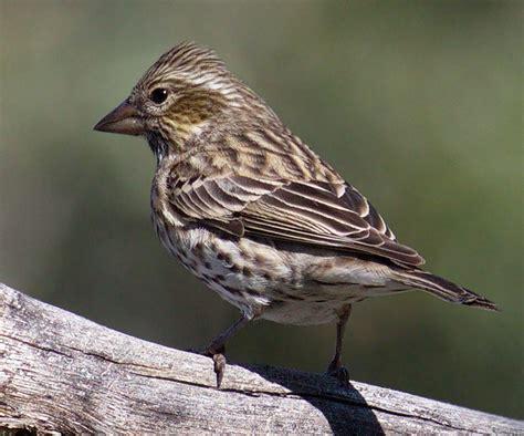 cassin s finch san diego bird spot
