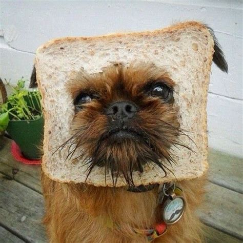bread puppies 1000 images about breading on chihuahuas butter and yorkie