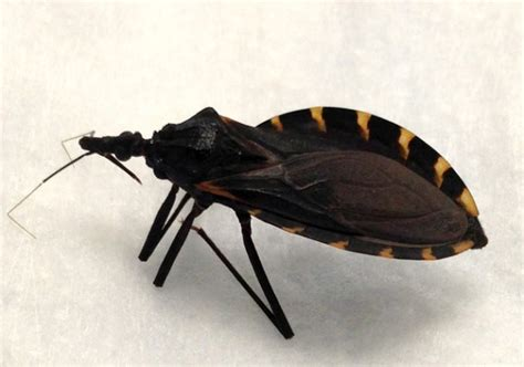 chagas disease in dogs dogs chagas disease disease article texvetpets