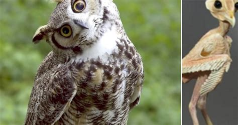 what does an owl look like without feathers
