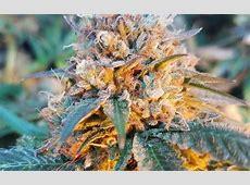 Skywalker OG Cannabis Strain Information - Leafly Leafly App