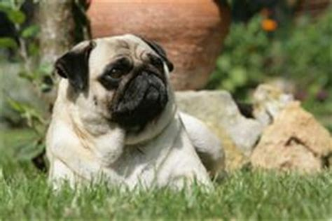 most popular pug names pug names at dognamed