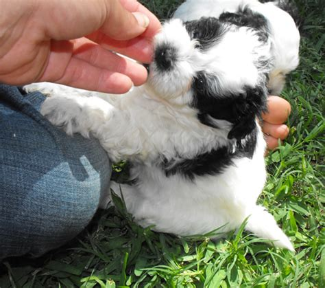 shih tzu poodle mix chicago shih tzu poodle bichon mix teddy breeds picture