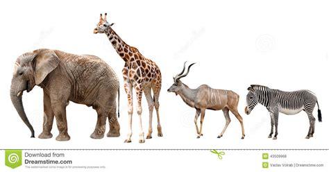 imágenes de jirafas y elefantes jirafa kudu cebra y elefante foto de archivo imagen