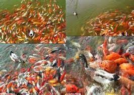 Grosir Bibit Ikan Koi 081356749050 pengusaha grosir bibit ikan mujair ikan