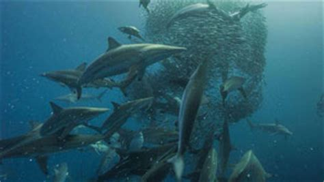 dive with sharks in south africa fly fighter jets more diving in south africa great white shark sardine run