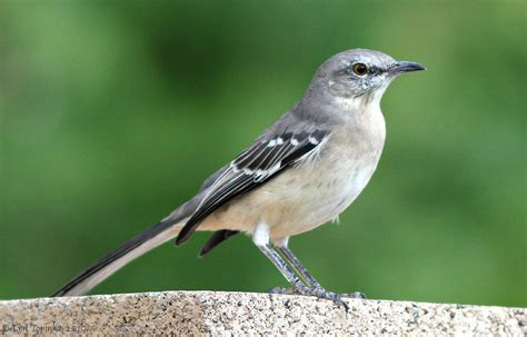 mockingbird facts and information thinglink