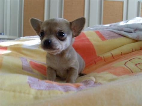 how much are chihuahua puppies chihuahua puppies 41 free wallpaper dogbreedswallpapers