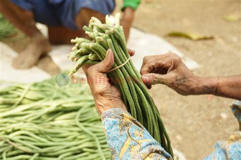 Benih Kacang Panjang Pertiwi budidaya kacang panjang benih pertiwi