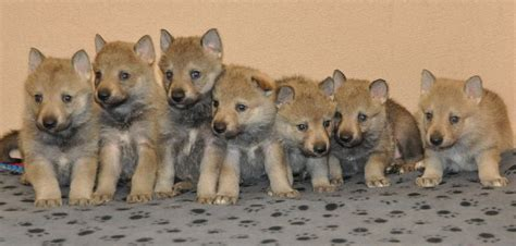 czechoslovakian wolfdog puppies for sale czechoslovakian wolfdog with fci pedigree york dogs for sale puppies for sale
