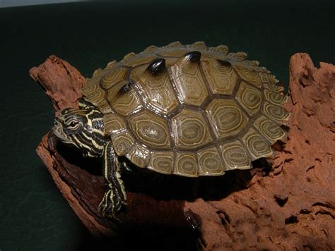 Black Knobbed Map Turtle For Sale by Southern Black Knobbed Map Turtle For Sale From The Turtle