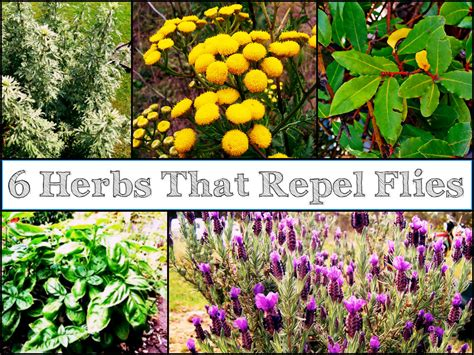 6 fragrant herbs plants that repel flies