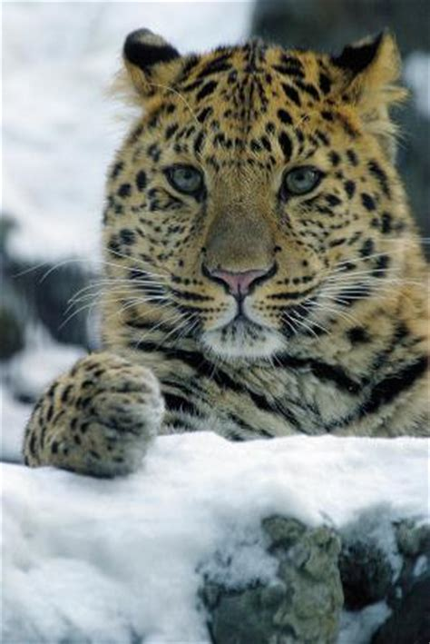 saving the snow leopards big cat rescue saving leopards big cat rescue