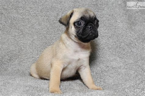 pug puppies for sale in rock arkansas pug puppy for sale near rock arkansas f791d18b fa21