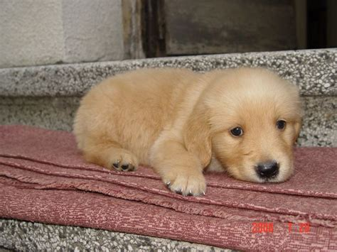 golden retriever newborn baby golden retriever aww shucks