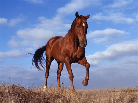nice hourse brown horse wallpapers