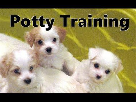 havashire puppies how to potty a havashire puppy havashire house housebreaking