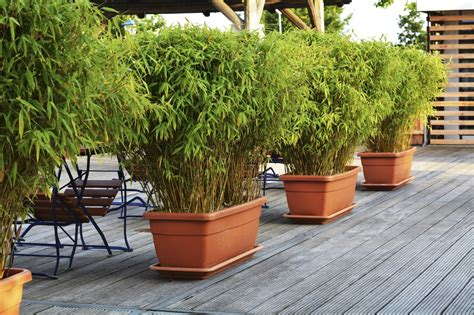 Sichtschutz Terrasse Bambus by Growing Bamboo In Containers How To Care For Bamboo In