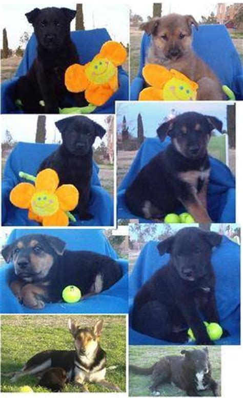 german shepherd puppies las vegas german shepherd dogrottweiler mix for adoption in las vegas breeds picture