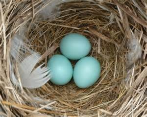 bluebird eggs color house sparrow eggs picture 1