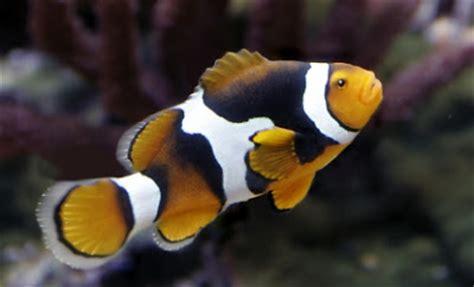 la chachipedia el pez payaso apexwallpaperscom la chachipedia el pez payaso