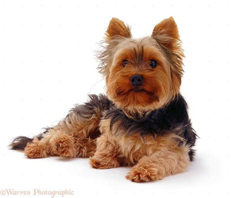 what is the average lifespan of a yorkie terrier breed history and some interesting facts
