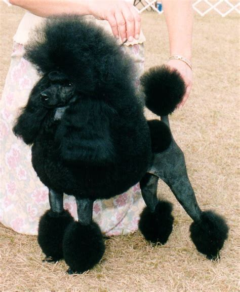 poodle simple english wikipedia the free encyclopedia
