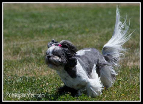 shih tzu health tests coursing ability test weekend