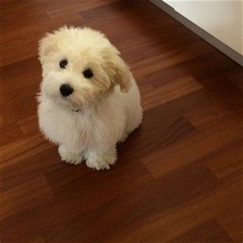 cotton puppy community post 16 reasons the coton de tulear should be your favorite breed i