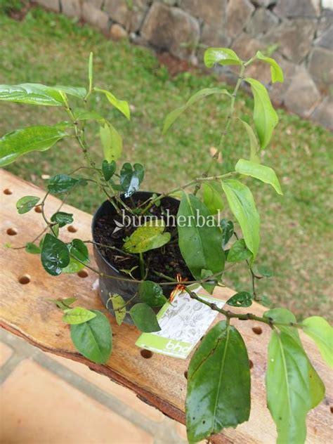 Bibit Ginseng Jawa bibit herbal bumi herbal dago